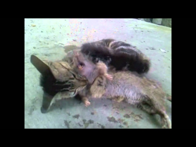 Cat slaughter rat. WHAT CATS SHOULD DO!