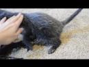 Honi The Lykoi Cat aka Wolf Cat or Werecat