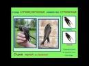 Голоса птиц Стриж Пение