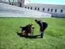 Бои без правил. питбуль и немецкая овчарка