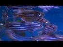 Zebrafish / Zebra Danio Danio rerio - Tropical Fish