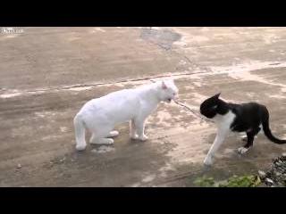 Сумасшедший кот каратист!! Crazy cat  HD