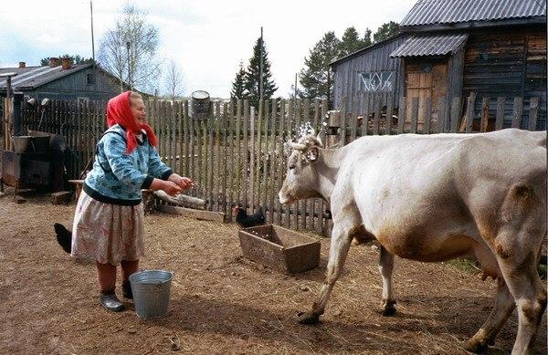после отела корова будет спокойней если она агрессивная Урал