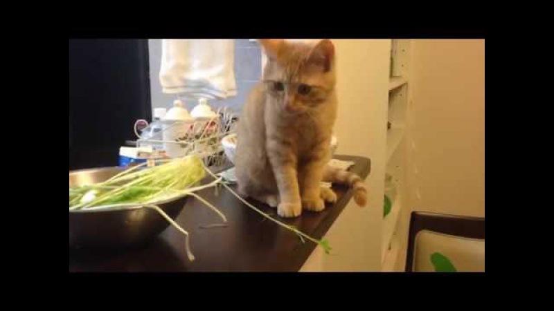 茶トラ猫「ひろし」食事タイム♪ ついに野菜を•••!
