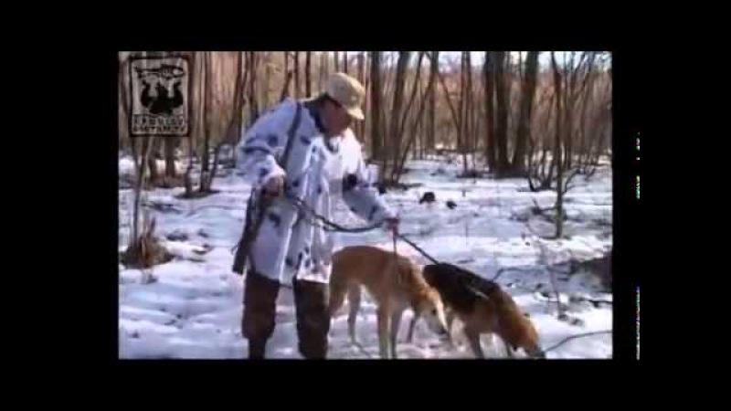 Охота на зайца По белой тропе с русскими гончими