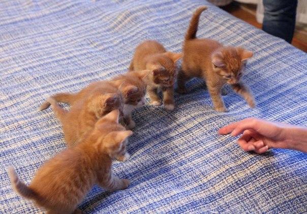 Раздаём котят от домашней кошки