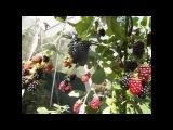 Выращивание ежевики - двойная обрезка куста, описание, посадка и уход, высокая ур...