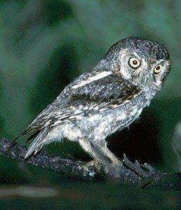 Самая маленькая сова в мире -это сычик-эльф (Micrathene whitney),