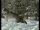 Александр Розенбаум Одинокий волк