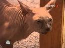 Бешенная кошка - сорвало башню. Окупировала дом и нападает на людей!
