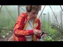 Подготовка почвы в теплице Как применять Фитоспорин Сайт Садовый мир