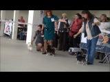 Монопородная выставка чихуахуа 11.10.2014. Часть 2 Д/Ш.