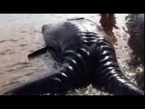 Conjoined whale calves found dead in Mexican lagoon in world's first documented case of..
