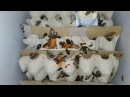 Мраморный таракан / Nauphoeta cinerea