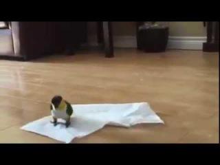 Попугай играет с салфеткой