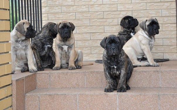 Сколько стоит щенок бульмастифа - Страница 2 06UY680-TSE