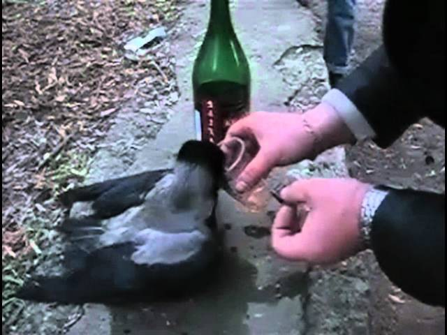 Пьяная ворона HD