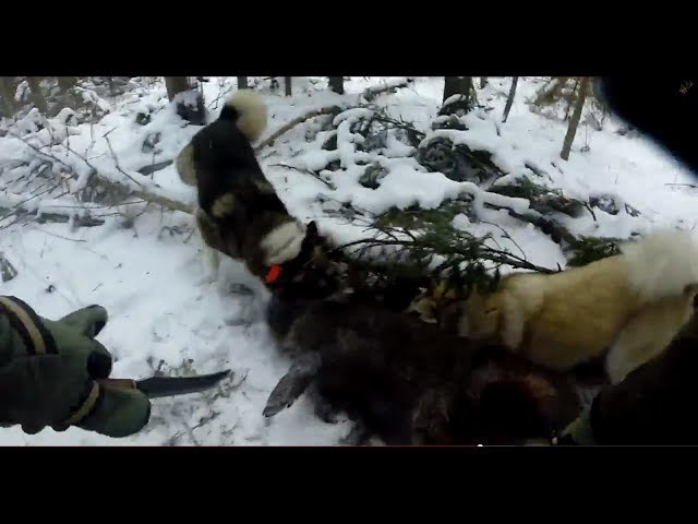 Охота на кабана от собаками ( зарезал ножом )