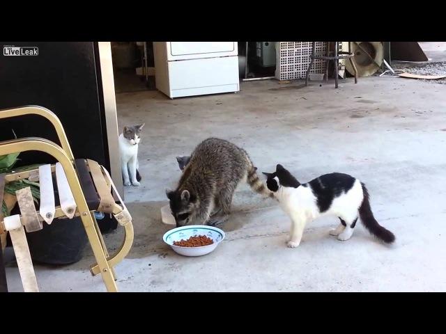 Raccoon steals cat food-Енот ворует корм для кошек