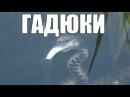 Гадюка Охотится на Рыбу Уникальные Кадры Snake hunts for fish