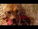 BBC   Самые опасные животные в мире  стайные охотники