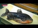Пиранья напала на рыбака в Волгодонске