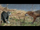 Лиса и кот. Встреча. Животные для детей.Природа России.Cat vs fox.