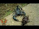 Битвы насекомых. Скорпион vs жук носорог