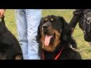 Планета Собак 26 Выпуск - Бурят-Монгольские волкодавы (Бурятия)  2013