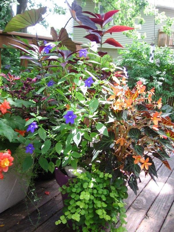 Знакомьтесь, броваллия-в саду, в контейнерах, дома
