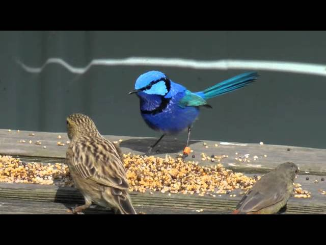 Splendid fairy wren finches aviaries three stages of seasonal color