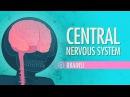 Kids' English | Central Nervous System: Crash Course A P 11