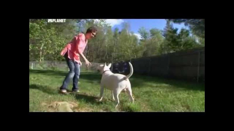 Введение в собаковедение / Dogs 101. Часть 21: Бультерьер