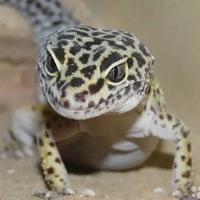 геккон леопардовый фото