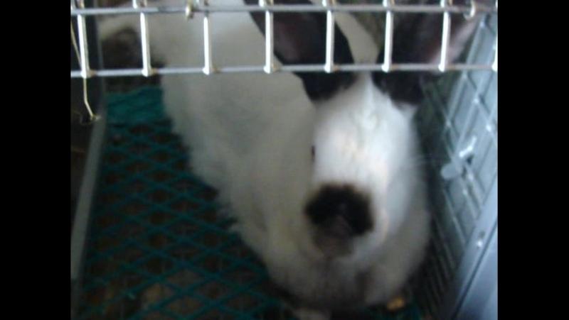 Калифорнийский кролик.Кормление летом.Содержание.Спаривание 002