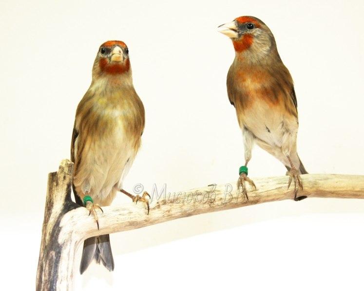 Фотографии моих птиц  AFYHJND4e1A