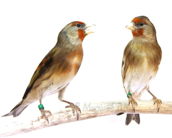 Фотографии моих птиц  EtcXad0bJ4A