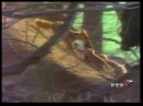Лисы острова Хоккайдо Hokkaido Red Fox