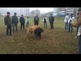 Собачьи бои тибетский мастиф vs хз