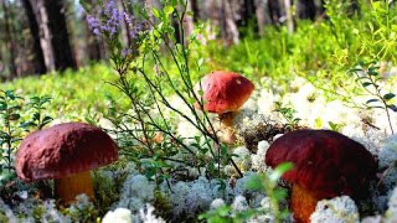 Красивые белые грибы - Mushrums Boletus Edulis (super video 2015)