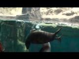 Морские котики в московском океанариуме