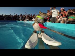 Белка на водных лыжах :: GoPro Twiggy the Waterskiing Squirrel