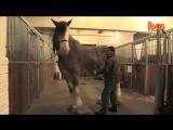 Самые большие и сильные лошади мира