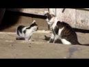 Ko pisici