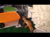Веснушка ест саранчу
