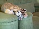 Кто - нибудь, скажите этому милому созданию, что он тигр!)))