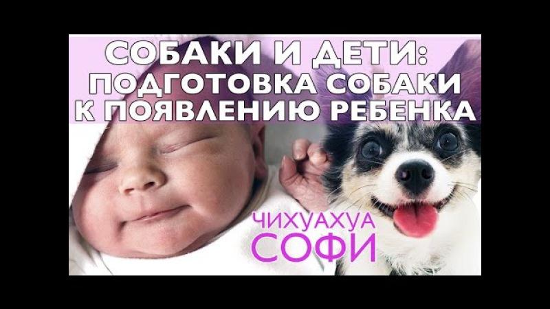 Собака и ребенок: приучить собаку к ребенку | Часть 2 | Чихуахуа Софи