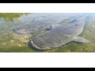 ОГРОМНАЯ рыба СОМ НА МЕЛЯКЕ вид-сверху. рыбалка подводная охота.