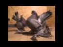 статные голуби 2014
