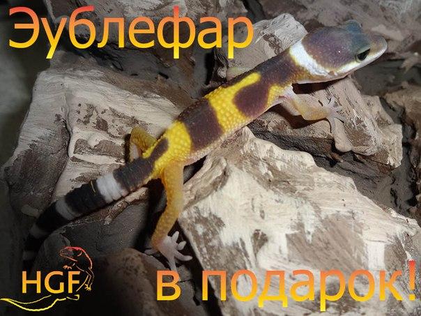 Eublepharis macularius,эублефар, пятнистый эублефар, геккон, леопардовый геккон, Leopard Gecko, ящерица, рептилия